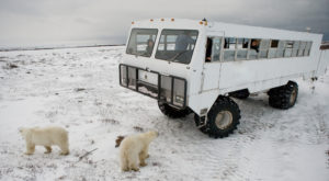 Белые медведи около автомобиля